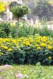 Marigold στον κήπο Στοκ Εικόνα