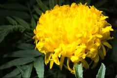 Marigold στον κήπο Στοκ Εικόνες