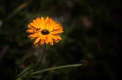 Marigold στο σκοτεινό κλίμα Στοκ Εικόνα