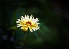 Marigold στο σκοτεινό κλίμα Στοκ φωτογραφία με δικαίωμα ελεύθερης χρήσης