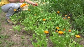 Marigold συγκομιδών κοριτσιών βοτανολόγων ανθίσεις χορταριών στο ψάθινο καλάθι 4K απόθεμα βίντεο