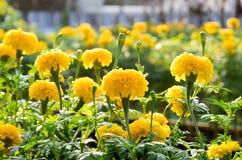 Marigold τα λουλούδια είναι ανθίζοντας και τόσο όμορφα Στοκ Φωτογραφία