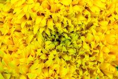 Marigold τα λουλούδια είναι φωτεινά Στοκ Εικόνες