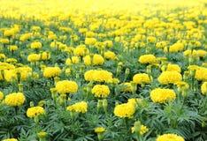 Marigold τομέας λουλουδιών Στοκ εικόνα με δικαίωμα ελεύθερης χρήσης