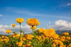 Marigold τομέας Στοκ φωτογραφία με δικαίωμα ελεύθερης χρήσης