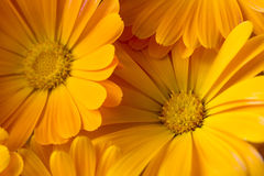 Marigold υπόβαθρο Στοκ Φωτογραφία