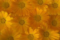 Marigold υπόβαθρο Στοκ Εικόνες