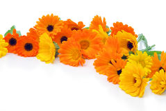 Marigold Royalty Free Stock Images