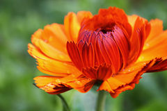 Marigold. Orange calendula marigold flower with raindrops on petals stock image