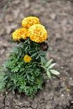 marigold Imagens de Stock
