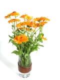Marigold Royalty Free Stock Photos