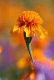 Marigold Fotografia de Stock