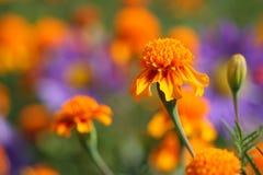 Marigold Imagem de Stock