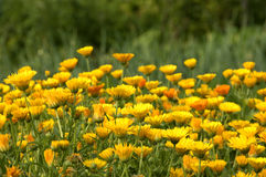 Marigold. A sea of Pot Marigold flowers (Calendula officinalis stock image