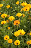 Marigold. Pot Marigold flowers (Calendula officinalis royalty free stock photography