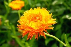 Marigold. Orange marigold flower with green background Royalty Free Stock Image