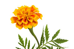 Marigold. Flower marigold. Isolated on white royalty free stock photos