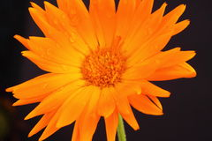 Marigold. A marigold flower on a dark background Stock Images