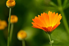 Free Marigold Royalty Free Stock Photography - 17335937