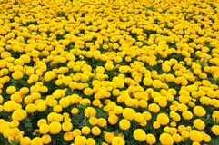 Marigold. A lot of Marigold, Yellow Flower royalty free stock photos