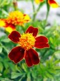 Marigold Royalty Free Stock Image