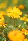 marigold Stock Photography