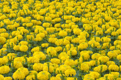 Marigold. Flower Field in Thailand Stock Image