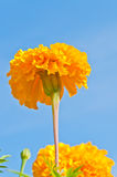Marigold Royalty Free Stock Photography