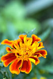 Marigold. Colorful golden marigold flower with green background Stock Images
