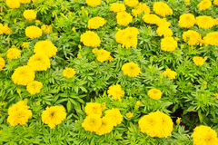 Marigold. Yellow Flower, Marigold. Can use background stock photo