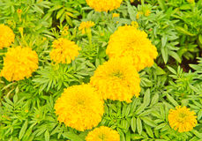 Marigold. Yellow Flower, Marigold. Can use background royalty free stock photography