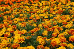 Marigold. Field of marigold at summer time stock photos