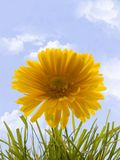 Marigold. In grass with cloudy sky background Royalty Free Stock Images