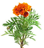 Marigold. Red marigold branch isolated white royalty free stock photography
