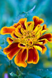 Marigold. Colorful golden marigold flower with green background Royalty Free Stock Photo