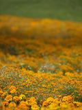 Marigold. Flowers meadow perspective during sunny day Royalty Free Stock Image