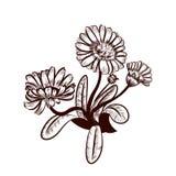 Marigold. Illustration of medicinal plant Marigold Royalty Free Stock Photo