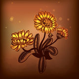 Marigold. Illustration of medicinal plant Marigold Royalty Free Stock Images