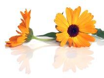 marigold Στοκ Εικόνα