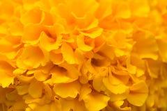Marigold. A closeup macro of the marigold flower Royalty Free Stock Photo