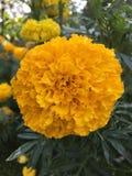 marigold Στοκ εικόνα με δικαίωμα ελεύθερης χρήσης