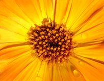 Marigold. This image shows a macro from a yellow marigold stock images
