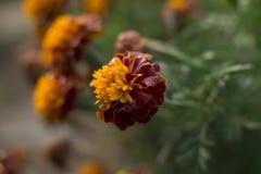 marigold Στοκ φωτογραφίες με δικαίωμα ελεύθερης χρήσης