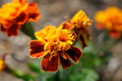 marigold Fotos de Stock Royalty Free