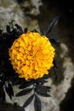 marigold Fotos de Stock