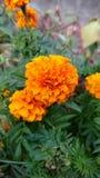 marigold Foto de Stock Royalty Free