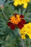 Marigold africano Fotografia de Stock