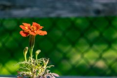 Marigold against fence Stock Image