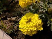 Marigold amarelo Foto de Stock