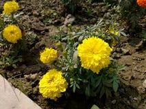 Marigold amarelo Foto de Stock Royalty Free